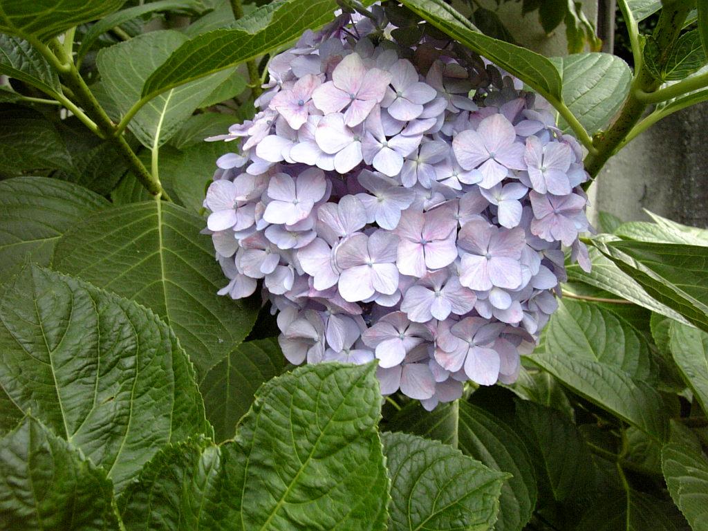 梅雨の止み間の紫陽花