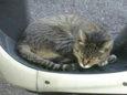 ご近所猫(20071010-3)