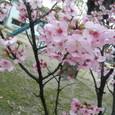 お彼岸の桜