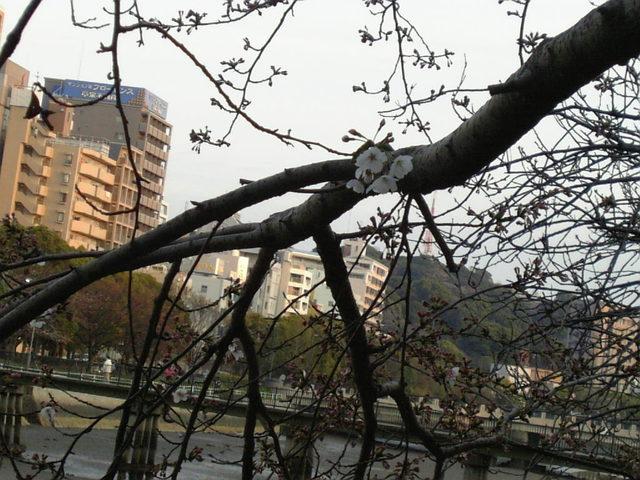 今日の桜(2)